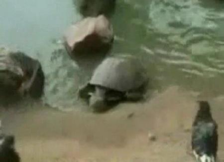 Черепаха-хищник